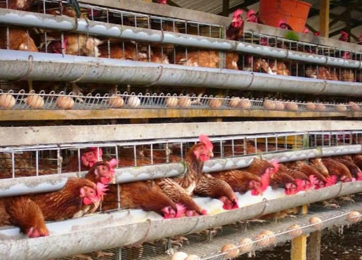 Cara Sukses Ternak Ayam Petelur Rumahan Untuk Pemula ⋆ ...